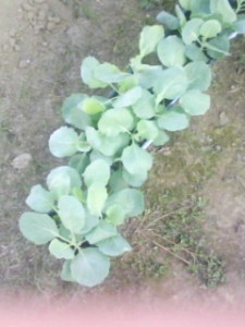 キャベツの苗